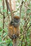 Maki - Madagascar royalty-vrije stock foto's