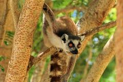 Maki in Madagaskar Stockfotografie