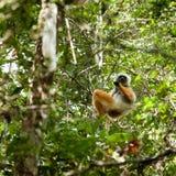 Maki - Madagaskar Lizenzfreie Stockfotografie