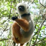 Maki - Madagaskar Lizenzfreie Stockfotos