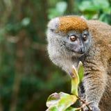 Maki - Madagaskar Stockfoto