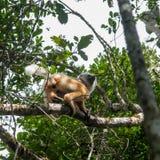 Maki - Madagaskar Stockbilder