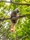 Maki in neugierigem ist, Madagaskar Stockfotos