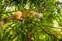 Maki in neugierigem ist, Madagaskar Lizenzfreie Stockfotografie