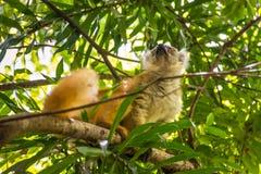 Maki in neugierigem ist, Madagaskar Stockbild