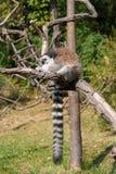 Maki op de boomtak Stock Foto