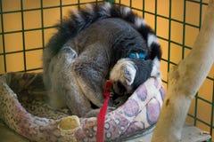 Maki schläft in einem Käfig Stockfoto