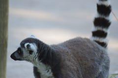 Maki van Madagascar stock foto's