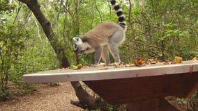 Maki van Madagascar stock footage
