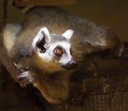 Maki van Madagascar Royalty-vrije Stock Fotografie