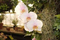 Maki Watanabe Phalaenopsis fotografering för bildbyråer