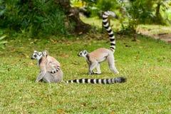 Makicatta av Madagascar royaltyfri bild
