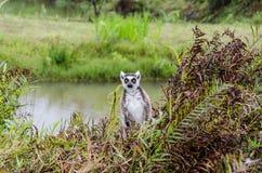 Makien in Andasibe-Park Madagascar Royalty-vrije Stock Fotografie
