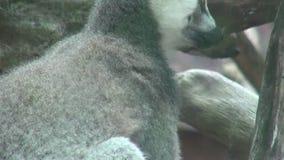 Makien, Dierentuindieren, het Wild, Aard stock videobeelden