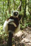 Makien in Madagascar Stock Afbeelding