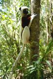 Makien in Madagascar Royalty-vrije Stock Afbeeldingen