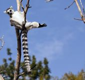 Makien van Madagascar Royalty-vrije Stock Fotografie