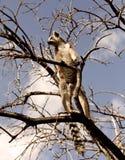 Makien van Madagascar Stock Fotografie