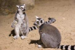 Makilustiges Tiersäugetier Madagaskar Lizenzfreies Stockfoto
