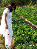 Making a Choice. A beautiful Indian lady farmer trying to find the ripest strawberry in a farm Stock Photo