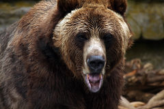 Making Faces. Kodiak Grizzly Bear staring at the photographer and making faces Royalty Free Stock Photo