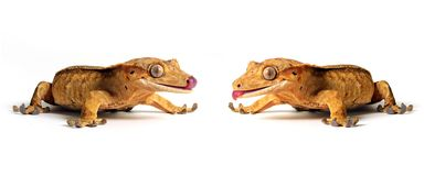 Making Friends. Two Crested Gecko's facing each other and licking their mouths.  Isolated on a white background Royalty Free Stock Photo