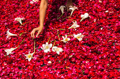 Making a Holy Week processional carpet of rose petals. Making a Holy Week processional carpet (or alfombra) of red rose petals and lilies in street in Royalty Free Stock Photography