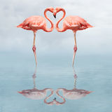 Making love. Flamingos in water making a heart shape Royalty Free Stock Photos