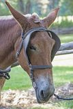 Making molasses with mules and sugar cane in Cades Cove. Closeup mule`s head with blinders on stock images