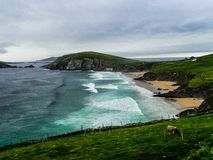 Slea Head, Dingle Peninsula, Ireland. Making the most of their land, a lone cow grazes by the cliffs surrounding Slea Head Beach on the Dingle Peninsula of Stock Photography