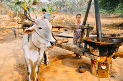 Making olive oil in Bagan. royalty free stock photo