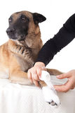 Making a paw bandage. First aid on a dog. Royalty Free Stock Images
