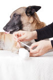 Making a paw bandage. First aid on a dog. Stock Photo