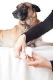 Making a paw bandage. First aid on a dog. Royalty Free Stock Photography