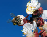 Making plumbs. This is a honey bee pollinating a plum Chinese plumb tree Stock Images