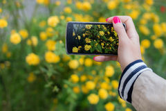 Making snapshots of flowers with mobile smart phone. Female hand with red manicure takes pictures of yellow flowers with mobile smart phone. On the background of Royalty Free Stock Photos