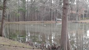 Two Canadian geese on the cold pond in Arkansas royalty free stock image