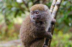 Makis in Andasibe-Park Madagaskar Stockbild