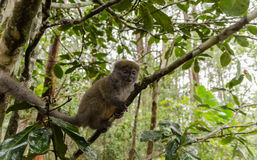 Makis in Andasibe-Park Madagaskar Stockfotos
