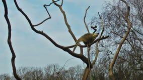 Makis, die auf Baum mit blauem Himmel spielen stock video footage
