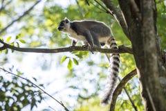 Makis von Madagaskar 4 Stockbilder