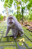 Makkah-Affe in einem Dschungelpark Lizenzfreies Stockbild