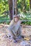 Makkah-Affe in einem Dschungelpark Stockfotografie