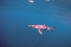Mako Shark Royalty Free Stock Image