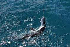 Mako shark feeding. A Mako Shark attacks a Skipjack Tuna bait off Whakatane, Bay of Plenty, New Zealand Stock Photo