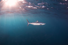 Mako Shark. A short fin mako shark cruising the open ocean Stock Images