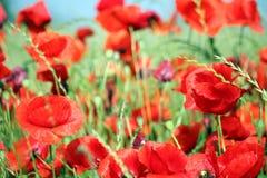 makową czerwone kwiaty Fotografia Royalty Free