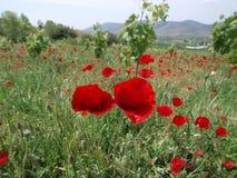 makową czerwone kwiaty Obraz Stock