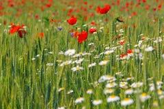 makową czerwone kwiaty Fotografia Stock