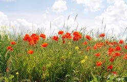 makową czerwone kwiaty Zdjęcia Stock